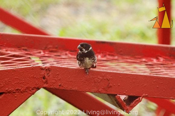 Male Variable Seedeater, Panama City, Panama, bird, Sporophila corvina, car ramp, red, one leg