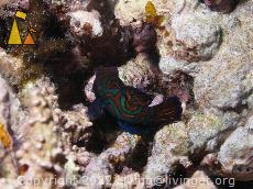 Mandarinfish, Sabang, Philippines, underwater, fish, Mandarinfish, Synchiropus picturatus