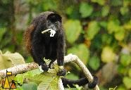 Mantled Howler, Eating, Canopy Tower, Panama, mammal, Alouatta palliata, Mantled Howler, monkey, branch, leaf, eating