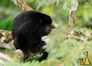 Mantled Howler Squating, Canopy Tower, Panama, mammal, Alouatta palliata, Mantled Howler, monkey, squat