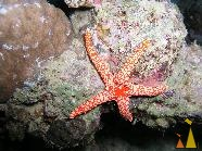 Marble Starfish, Red Sea, Sudan, sae star, Marble Starfish, Fromia elegans