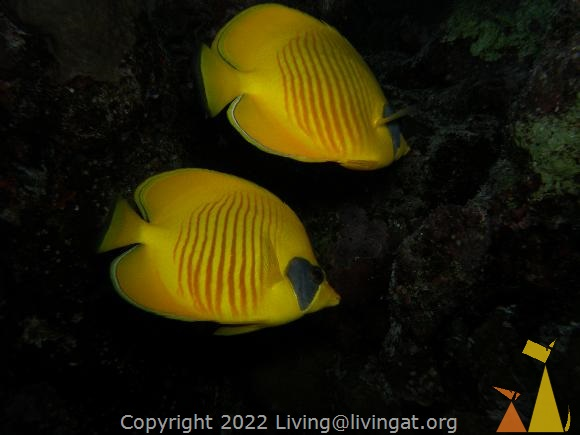 Masked butterfly, Red Sea, Egypt, underwater, fish, Masked Butterflyfish, Chaetodon semilarvatus