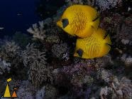 Masked butterfly, Red Sea, Egypt, underwater, fish, Chaetodon semilarvatus, Masked butterflyfish