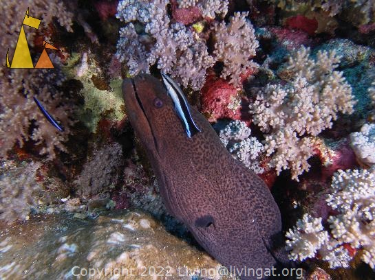 Moray and cleaner, Red Sea, Egypt, underwater, fish, moray, Giant moray, Gymnothorax javanicus, Common cleaner wrasse, Labroides dimidiatus