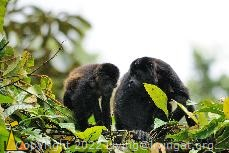 Mother and Kid, Canopy Tower, Panama, mammal, Alouatta palliata, Mantled Howler, monkey, mother and young, boil
