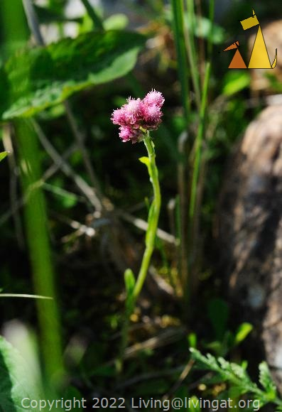 Mountain Everlasting in the grass, Utsjoki, Finland, macro, flower, Antennaria dioica, pink