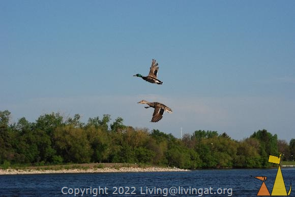Mr & Mrs Mallard, Regina, Canada, bird, Mallards flying, Anas platyrhynchos