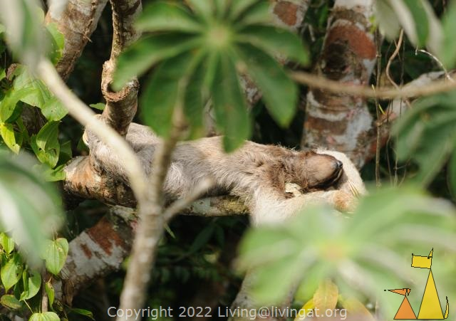 Naping Sloth, Canopy Tower, Panama, mammal, Bradypus variegatus, Brown-throated Sloth, tree