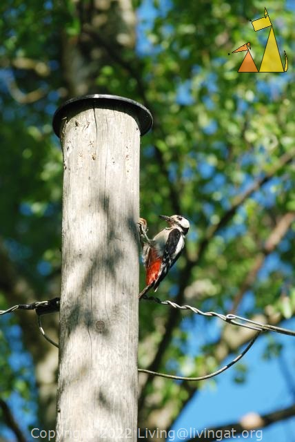 Nest robber, Landet, Sweden, bird, Dendrocopos major, telephone pole, Great Spotted Woodpecker