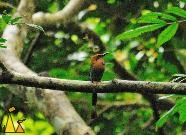 Nice tail, Canopy Tower, Panama, bird, dark forest, Electron platyrhynchu