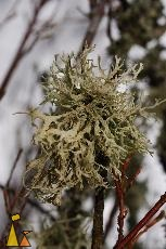 Oakmoss, Landet, Sweden, plant, Evernia prunastri, Oakmoss, lichen, tree