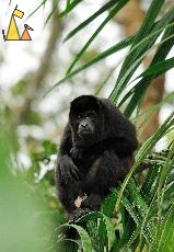 Old Man in a Tree, Canopy Tower, Panama, mammal, Alouatta palliata, Mantled Howler, monkey, balls