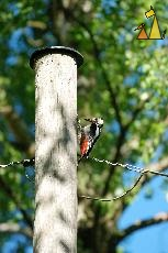 On a pole, Landet, Sweden, bird, Dendrocopos major, telephone pole, Great Spotted Woodpecker