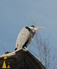 On a roof top, Skansen, Djurgården, Stockholm, bird, Ardea cinerea, Grey heron, roof
