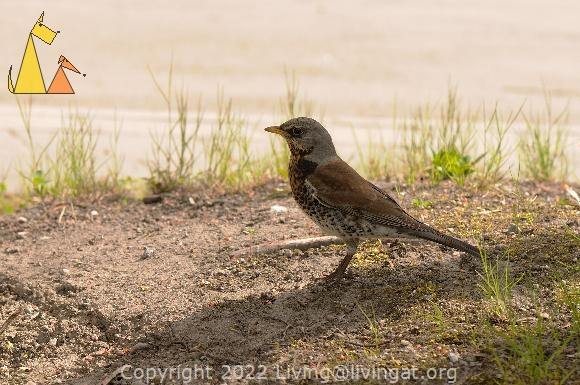 On the lookout, Berwaldhallen, Stockholm, Sweden, bird, Fieldfare, Turdus pilaris, lookout