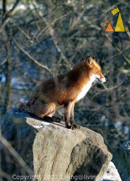 On the lookout, Skansen, Stockholm, Sweden, mammal, captive, Red fox, Vulpes vulpes