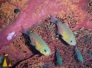 Orange-lined cardinalfish, Burma, underwater, fish, Orange-lined cardinalfish, Archamia fucata