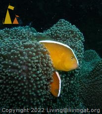 Orange anemonefish, Philippines, underwater, fish, Orange anemonefish, Amphiprion sandaracinos