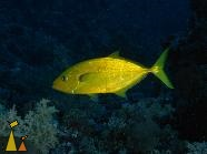 Orangespotted trevally, Shaab Marsa Alam, Red Sea, Egypt, underwater, fish, Orangespotted trevally, Goldbody trevally, Carangoides bajad