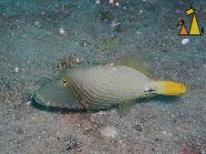 Orangestriped, Maldives, underwater, fish, Orangestriped triggerfish, Balistapus undulatus