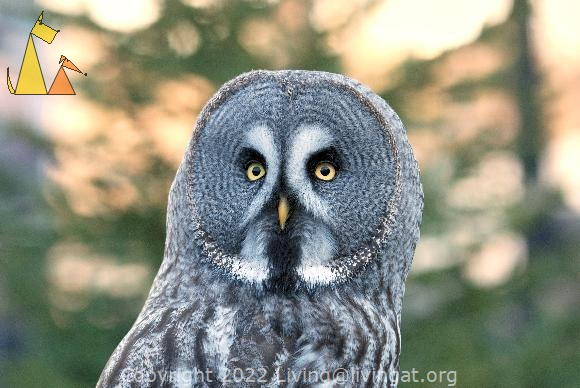 Owl portrait, Skansen, Stockholm, Sweden, bird, portrait, Great Grey Owl, Strix nebulosa, captive