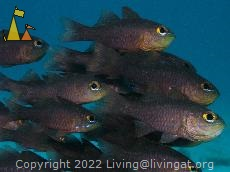 Painted Cardinalfish, Malapascua, Philippines, underwater, fish, Painted cardinalfish, Archamia fucata