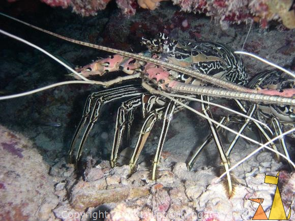 Painted spiny lobster, Laamu Atoll, Maldives, underwater, crustacean, Painted spiny lobster, Panulirus versicolor