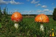 Pair of Fly agaric, Angarnsjöängen, Sweden, pair, plant, mushroom, Fly agaric, Fly Amanit, Amanita muscaria