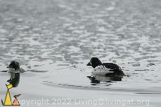 Pair of Goldeneyes, Gärdet, Stockholm, Sweden, water, ice, bird, Bucephala clangula, pair