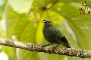 Palm Tanager, Canopy Tower, Panama, bird, Thraupis palmarum, Palm Tanager
