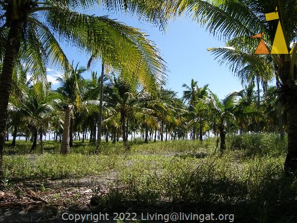 Palm trees, Malapascua, Philippines, Palm trees, plantation