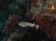 Panther electric ray, Red Sea, Egypt, underwater, fish, Panther electric ray, Torpedo panthera