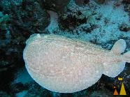 Panther electric ray, Red Sea, Sudan, underwater, fish, Panther electric ray, Torpedo panthera