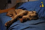 Passed Out, Landet, Sweden, dog, Canis lupus familiaris, Doris, Weimaraner, The Grey Ghost