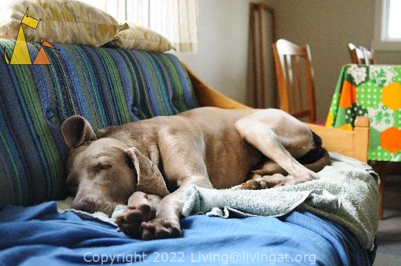 Passed out in the sofa, Landet, Sweden, dog, Canis lupus familiaris, Doris, Weimaraner, The Grey Ghost, sofa, sleep