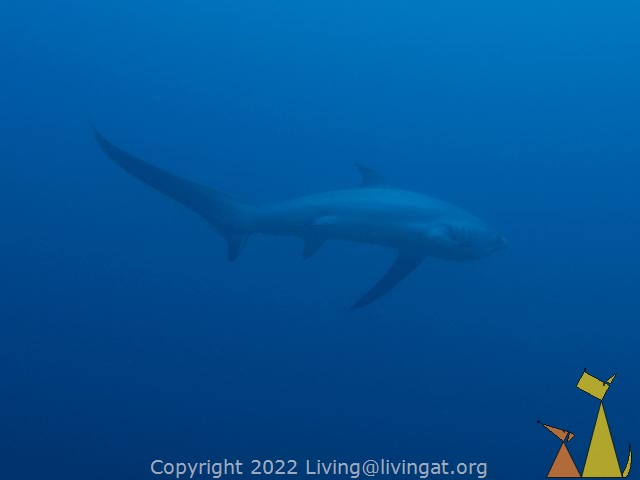 Pelagic thresher, Monad Shoal, Malapascua, Philippines, underwater, Pelagic Thresher shark, Threshershark, Alopias pelagicus, Monad Shoal