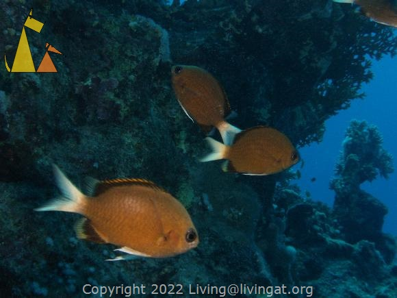 Pemba chromis, Red Sea, Egypt, underwater, fish, Pemba chromis, Yellow-edge chromish, Chromis pembae