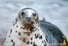 Perfect model, Skansen, Stockholm, Sweden, mammal, Halichoerus grypus, Gray Seal, captive