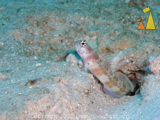 Periophthamla, Similan, Thailand, underwater, fish, Amblyeleotris periophthalma, Periophthalma prawn-goby, Broad-banded shrimp-goby
