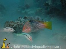 Pilferers, Red Sea, Egypt, underwater, fish, Checkerboard wrasse, Halichoeres hortulanus, Red Sea goatfish, Parupeneus forsskali