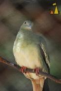Pink-necked Green Pigeon, Tamao Wildlife Rescue Center, Cambodia, bird, Pink-necked Green Pigeon, Treron vernans, captive
