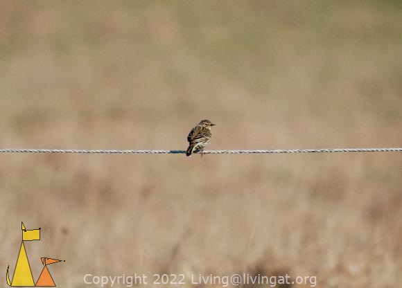 Pipit from behind, Angarn, Stockholm, Sweden, bird, Anthus pratensis, fence, Meadow pipit