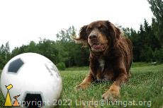 Please take my ball!, Landet, Sweden, Koffi, ball, dog, bitch, Canis lupus familiaris