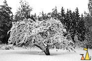 Plums in snow, Landet, Sweden, Black and White, tree, plum, Victoria, Prunus domestica ssp domestica, snow
