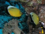 Polyp butterfly, Red Sea, Egypt, Underwater, polyp butterflyfish, Chaetodon austriacus