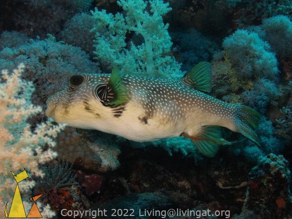 Pooping puffer, Red Sea, Egypt, pooping, underwater, fish, Whitespotted puffer, Arothron hispidus