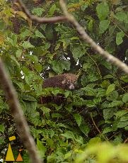 Popping it's head out, Canopy Tower, Panama, mammal, White-nosed coati, Nasua narica, tree, eating
