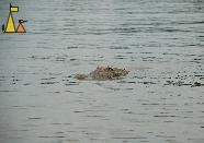 Popping it's head up, Isla Coiba, water, reptile, animal, American crocodile, Crocodylus acutus , Tito