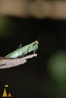 Praying mantis, Angkor Tom, Cambodia, Insect, Praying Mantis, green, Cambodia