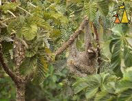 Private areas, Canopy Tower, Panama, mammal, Bradypus variegatus, Brown-throated Sloth, tree